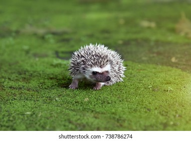 Young hedgehog hedgehog Walk on the moist concrete floor with green moss.The dwarf hedgehog is a small animal that is captivating to protect mammals.