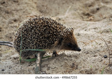 A young hedgehog for a walk on the sandy edge of the forest.