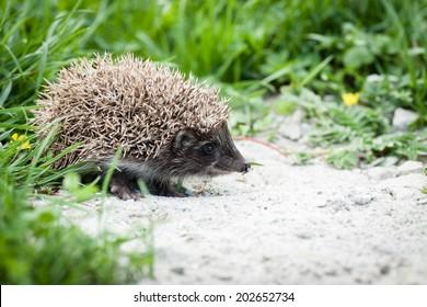 young hedgehog walking in backyard garden searchinf food