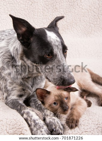 young-heeler-dog-licking-small-450w-7018