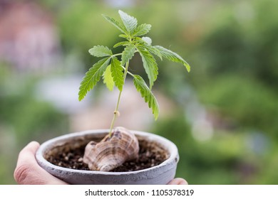 young hemp plant. cannabis cultivation in human conditions.