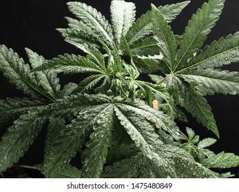 Young hemp plant. Green wet leaves. close-up.