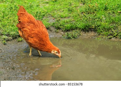 Young hen drinking water in biofarm
