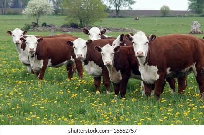 young hereford herd of cattle on a grassy field