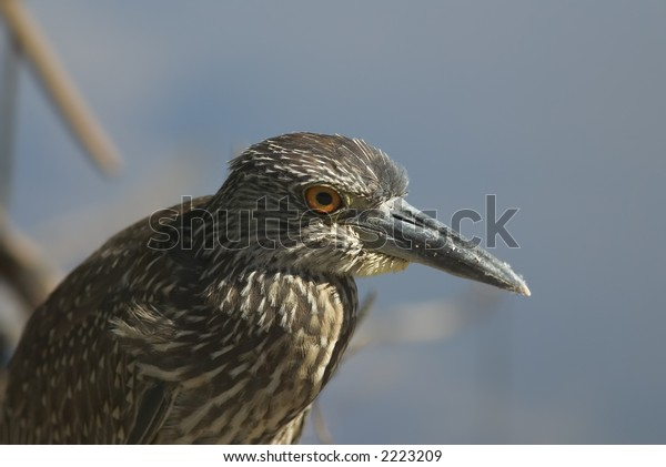 Young heron, Florida