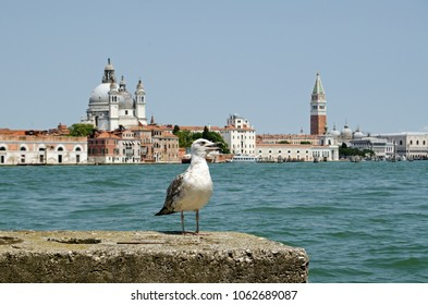 A young herring gull, latin name Larus argentatus gasping in awe at the magnificent view across the Giudecca Canal towards Santa Maria della Salute church and St Mark's Square in Venice, Italy.