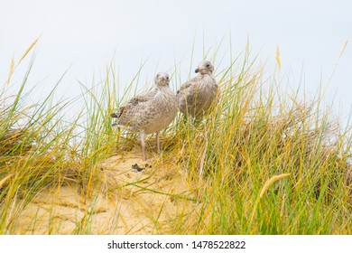 Young hidden seagulls in the dunes of Amrum