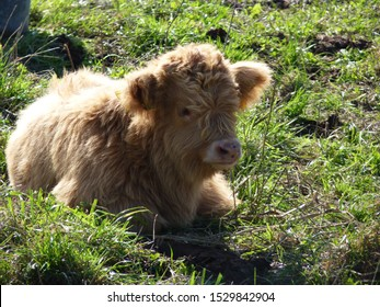 Young highland cattle lies on the meadow.