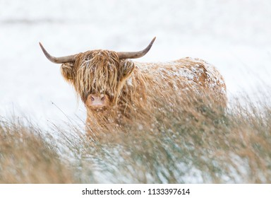 young Highland cow in snow Scotland