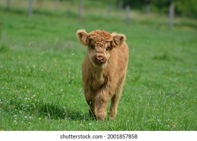 Young Highland outdoors in a meadow - Shutterstock ID 2001857858