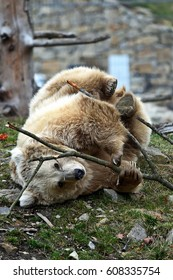 Young Himalayan brown bear (Ursus arctos isabellinus) playing with a branch