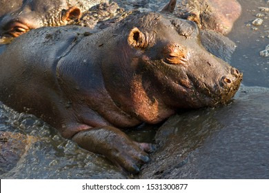 A young Hippo uses its mothers bulk to protect it from the squeeze of adults massing in the Ikuu Pools