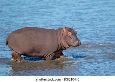 Young Hippopotamus (Hippopotamus amphibius) walking in shallow water, South Africa