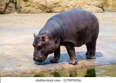 Young Hippopotamus (Hippopotamus amphibius) in the Zoo