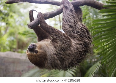 Young Hoffmann's two-toed sloth (Choloepus hoffmanni) on the tree
