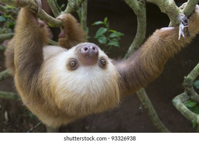 A young Hoffmann's two-toed sloth (Choloepus hoffmanni) in Puerto Viejo, Costa Rica.
