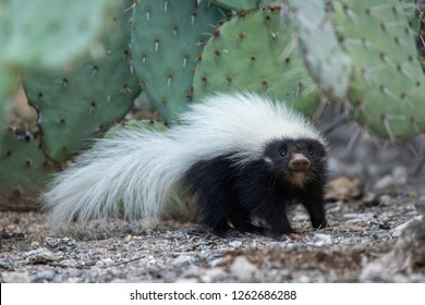 A young hog-nosed skunk in Bear Canyon, near Tucson, Arizona.
