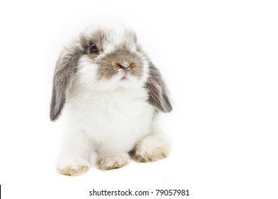 Young Holland Lop rabbit on white background