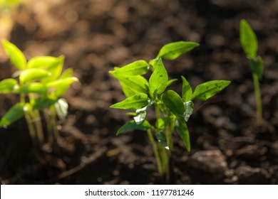 Young holy basil growing in the garden