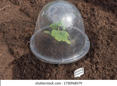 Young Home Grown Organic Courgette or Zucchini Plant (Cucurbita pepo 'Romanesco') Covered by a Transparent Plastic Bell Cloche Growing on an Allotment in a Vegetable Garden in Rural Devon, England, UK