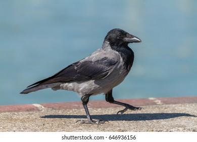 Young hooded crow bird walking