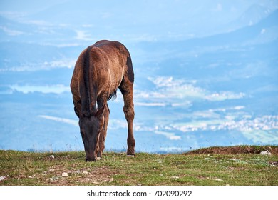 Young horse, or foal, grazing on the meadows in Dobratsch Nature Park in Austrian alps, with the Villach valle in the haze in the background