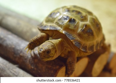 Young Horsefield Tortoise