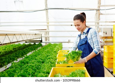 Young hothouse worker in uniform picking up lettuce from plantation and putting it to yellow plastic boxes for market sale