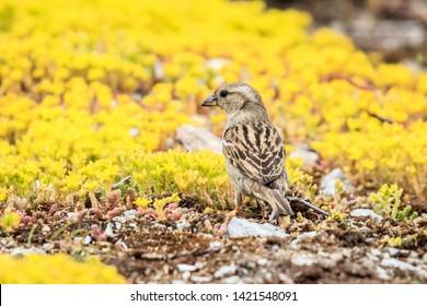 Young house sparrow, bird, europe