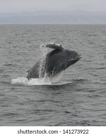 A young humpback whale breaches off the coast of California in the Pacific ocean