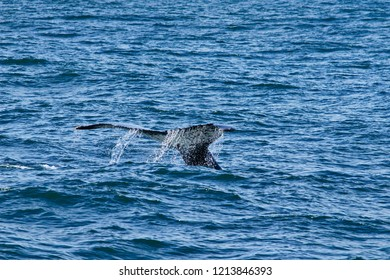 Young humpback whale diving and showing its tail fin in nelson mandela bay south africa