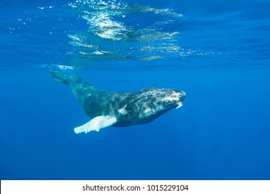 A young Humpback whale, Megaptera novaeangliae, swims in the clear blue waters of the Caribbean. Atlantic Humpbacks spend their winters in the Caribbean and the rest of the year feeding in the north.