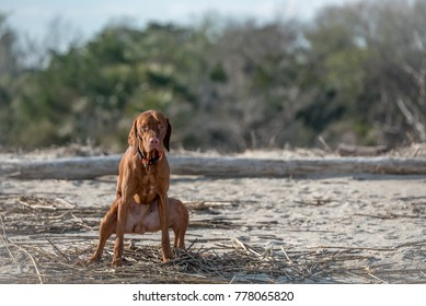 Young Hungarian Vizsla Hound Dog Pooping at the Beach