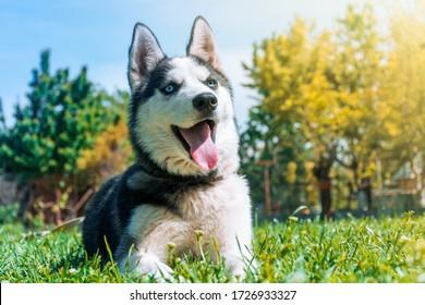 young husky dog lying on green grass