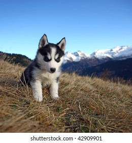 Young husky sitting in the grass