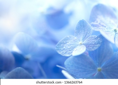Young Hydrangea flower with dew with incoming light. Extremely shallow depth of field for dreamy feel.