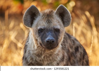 Young hyena during golden hour