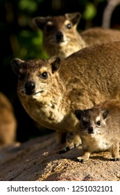 A young hyrax stares curiously while in the saftey of the family territory