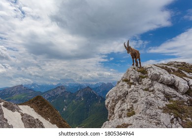 Young ibex over a rock with awesome dolomite mountains background, turned against the sky, Dolomites, Italy. High mountain wild animal life