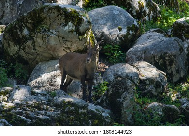 A young ibex searches for fresh herbs on an avalanche slope.