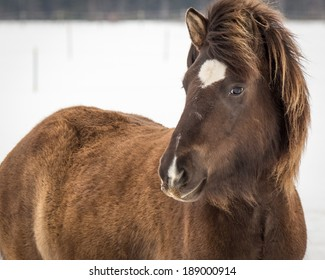 Young Icelandic Mare