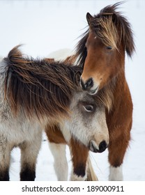 Young Icelandic Mares in Snow