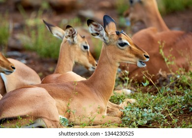 Young Impala antelope in kruger national park