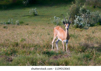 Young Impala antilope surprised by photografer