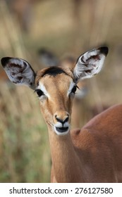 Young Impala staring in front of her