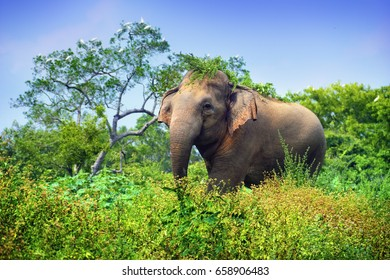 Young indian elephant (Elephas maximus) among high green grass in tropical rain forest against the background of blue sky, Minneriya (Minneria) national park, Sri Lanka, South Asia