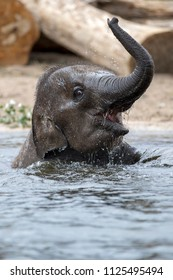 Young Indian Elephant in the water