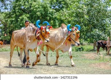 Young indian farmer celebrating pola festival - Shutterstock ID 1427311196