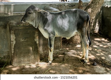 Young  Indian  gray calf tied  up in chain  standing in farm house of farmer in Kutch ,Gujarat . Hindus  consider cow as holy and worship all over India.