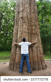 Young Indian Man standing holding hands around the giant teak tree at Parambikulam Tiger Reserve in Kerala India. is the worlds largest living teak named Kannimara.